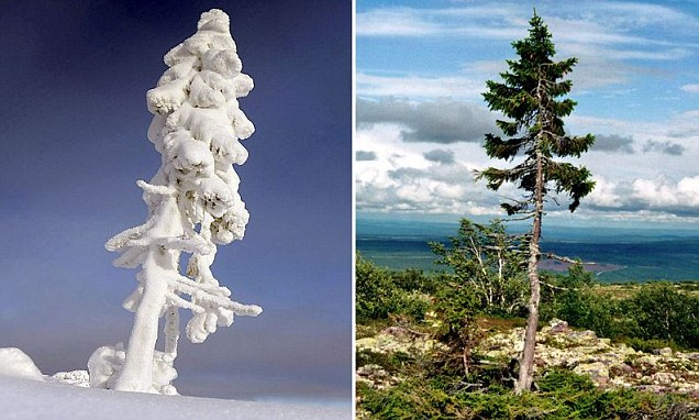 سوئیڈن میں 9 ہزار 500 سال پرانا دنیا کا قدیم ترین درخت دریافت