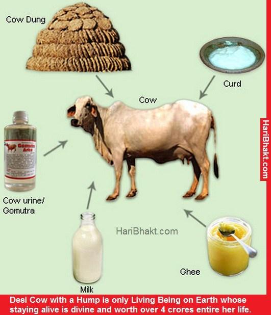 ہندو انتہا پسند تنظیمیں گائے کے گوبر سے لاکھو ڈالر کمانے لگیں