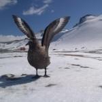 جنوبی کوریا کے انٹارکٹیکا میں پایا جانے والا اسکوا نامی  پرندہ