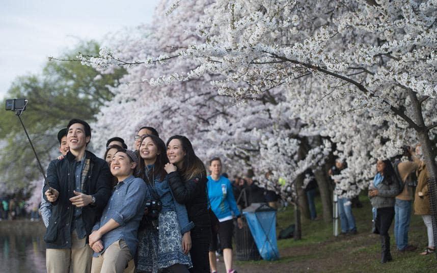 جاپانی روایات میں چیری کے پھولوں کو خاص اہمیت حاصل ہے